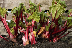 Rhubarb plant Royalty Free Stock Images
