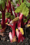 Rhubarb plant Stock Photos