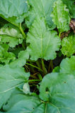 Rhubarb plant in the garden Stock Photography