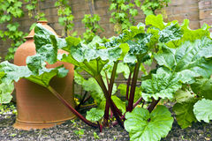 Rhubarb plant in garden. Stock Photo