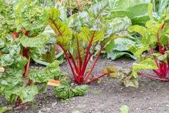 Rhubarb plant Stock Image