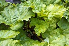 Rhubarb plant. Royalty Free Stock Image