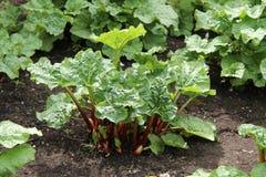 Rhubarb Plant. Stock Photo