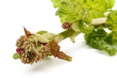 Rhubarb Rheum rhabarbarum. Rhubarb plant Rheum rhabarbarum in blossom Royalty Free Stock Photos