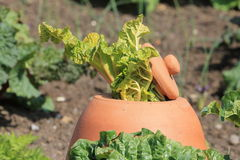 Rhubarb Poking Out of a Clay Forcing Bell Royalty Free Stock Photography