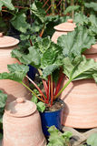 Rhubarb, Rheum palmatum plant in pot. In a sunny day Stock Photo