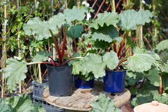 Rhubarb, Rheum palmatum plants. In pots Royalty Free Stock Photos