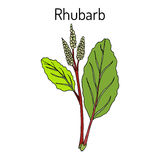 Rhubarb Rheum rhabarbarum , culinary and medicinal plant. Royalty Free Stock Photography
