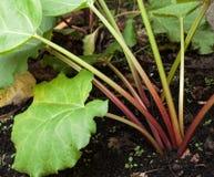 Rhubarb stalks. Stock Image