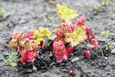 Rhubarb. Stalks growing up from the bare soil Stock Photography