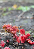 Rhubarb. Stalks growing up from the bare soil Royalty Free Stock Image