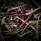 Rhubarb Stems on a Compost Heap Stock Image