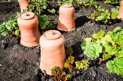 Rhubarb with terracotta pots Royalty Free Stock Photo