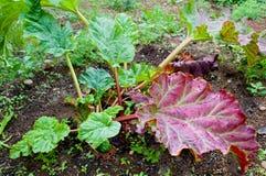 Rhubarbe Photos libres de droits