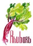 rhubarbe Aquarelle de dessin de main sur le fond blanc avec le titre illustration libre de droits