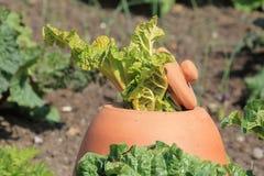 Rhubarbe poussant hors de Clay Forcing Bell Photographie stock libre de droits