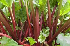 Rhubarbe rouge Photographie stock