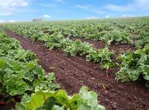 Rhubarbe sur la plantation Photographie stock libre de droits