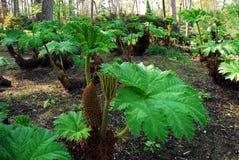 Rhubarbs gigantes fotografia de stock