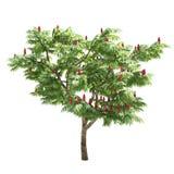 Изолированное дерево Rhus Стоковая Фотография