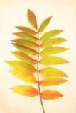 Rhus leaves on parchment Stock Image