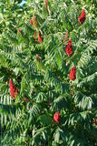 Rhus typhina Stock Photo