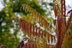 Rhus typhina autumn bright color leaves on branches royalty free stock images
