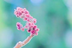 Rhus typhina single flower. Royalty Free Stock Photos