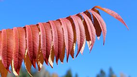 Rhus typhina staghorn sumac stock images