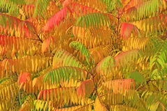 Rhus typhina. Tree in autumn with colorful leaves Stock Photography