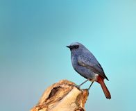 Rhyacornis fuliginosus Stock Images