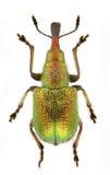 rhynchites auratus Стоковые Изображения