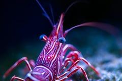 Rhynchocinetes durbanensis camel shrimp stock image