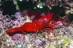 Rhynchocinetes rigens, red night shrimp Royalty Free Stock Photos