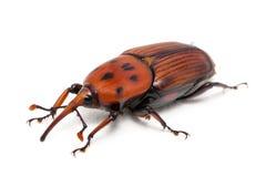 Rhynchophorus ferrugineus. Female brown palm weevil snout beetle, Rhynchophorus ferrugineus, isolated on white stock photography