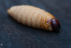 Rhynchophorus Ferrugineus Royalty Free Stock Images