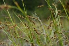 Rhynchospora modesti. Lucennoi Royalty Free Stock Photos