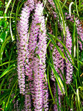 Rhynchostylis Stock Photography
