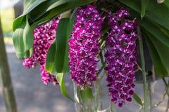 Rhynchostylis, fleur d'orchidée au jardin, à l'arrière-plan de nature ou au papier peint Photos libres de droits