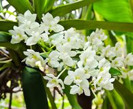 Rhynchostylis gigantea Stock Photos