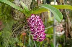 Rhynchostylis gigantea Royalty Free Stock Photo