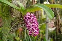 Rhynchostylis gigantea. Wild orchid in Thailand Royalty Free Stock Photo