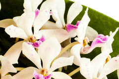 Rhynchostylis gigantea Royalty Free Stock Images