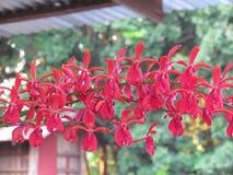 Rhynchostylis gigantea & x28; Lindl& x29; Orchidaceae Fotografering för Bildbyråer