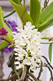 Rhynchostylis gigantea (Lindl.) Ridl. A kind of orchid in a garden Royalty Free Stock Images