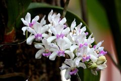 Rhynchostylis gigantea (Lindl.) Ridl. No.2 Stock Photos