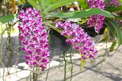 Rhynchostylis Gigantea Orchid Flower in a farm Royalty Free Stock Photos