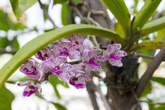 Rhynchostylis gigantea orchid Royalty Free Stock Photos