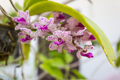 Rhynchostylis gigantea orchid Royalty Free Stock Photography