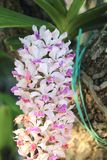 Rhynchostylis gigantea orchids flowers bloom in spring adorn the beauty of nature.  royalty free stock images